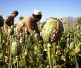 Harvesting Opium, East Afghanistan