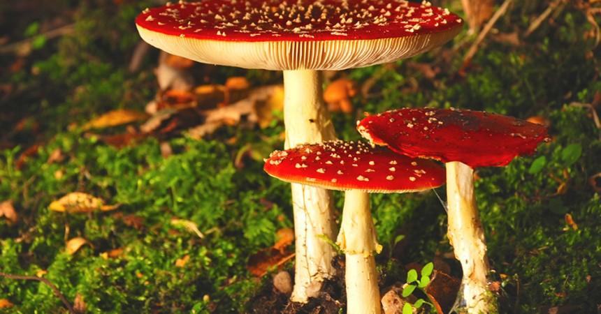 amanita muscaria - fly agaric mushroom